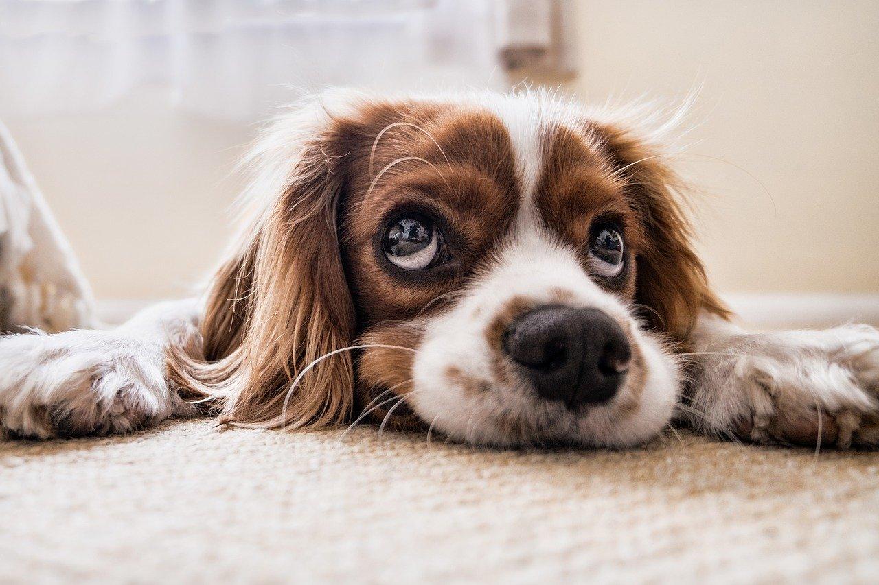 occuper un chien seul à la maison