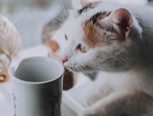 faire boire son chat