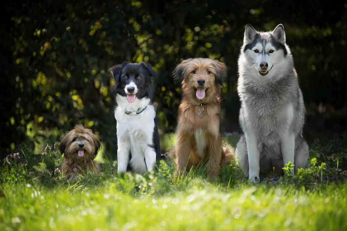 comment sortir avec plusieurs chiens