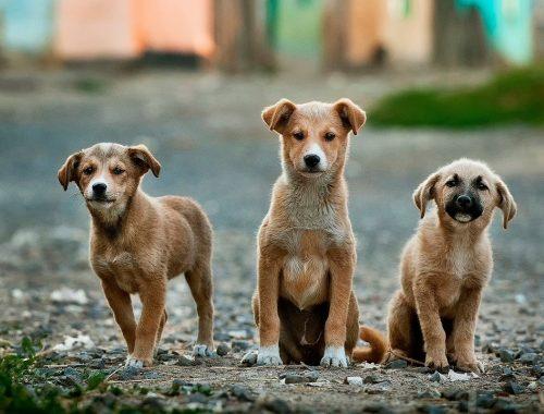 présenter plusieurs chiens sans danger