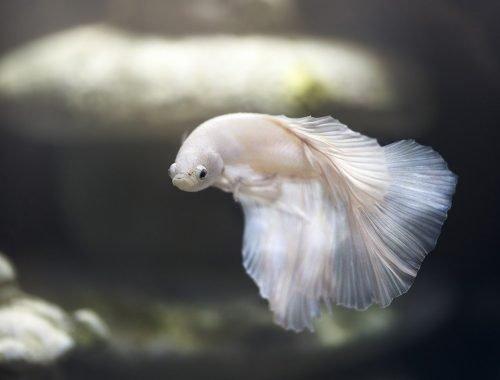 poisson nettoyeur aquarium