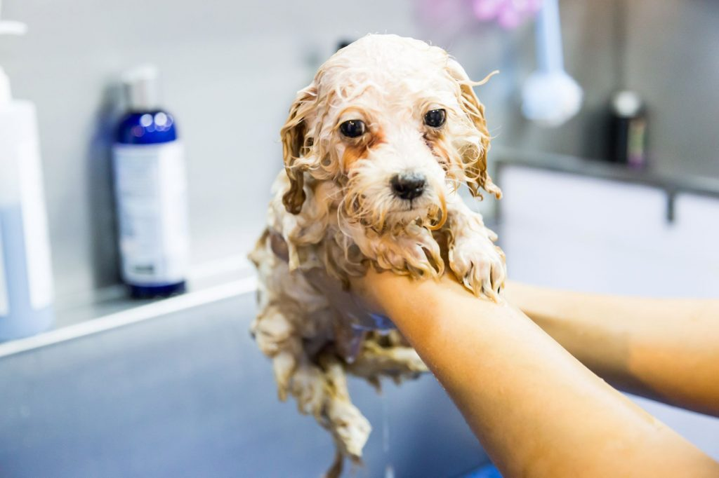 À quelle fréquence faut-il laver un chien adulte ?