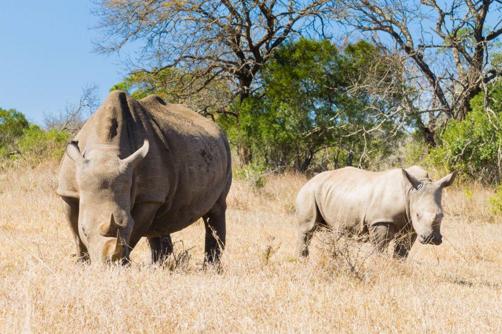 Les principales caractéristiques du rhinocéros blanc