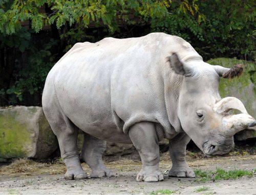 À la rencontre du rhinocéros blanc