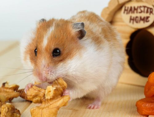 nourrir-hamster