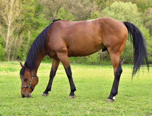 Les besoins nutritionnels du cheval
