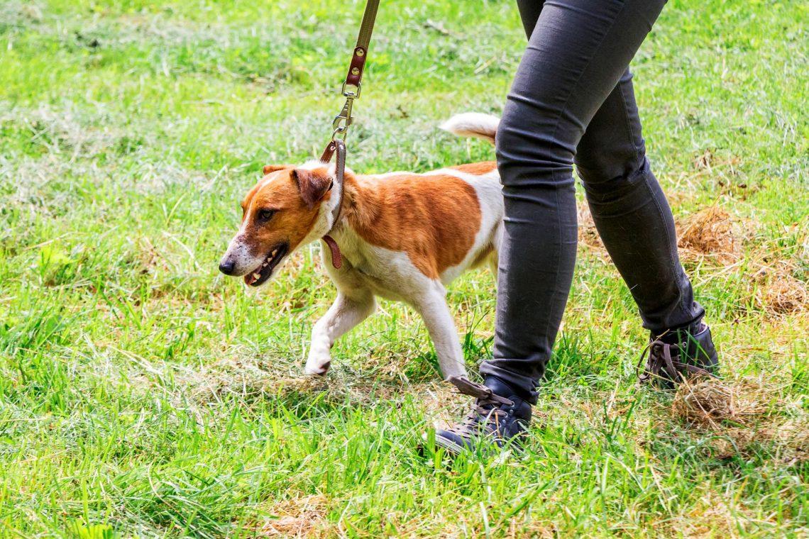 Ce que vous devez savoir pour travailler comme promeneur de chiens