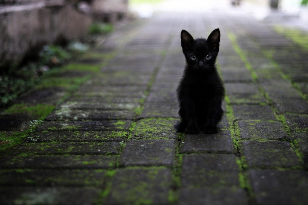 adopter-chat-noir